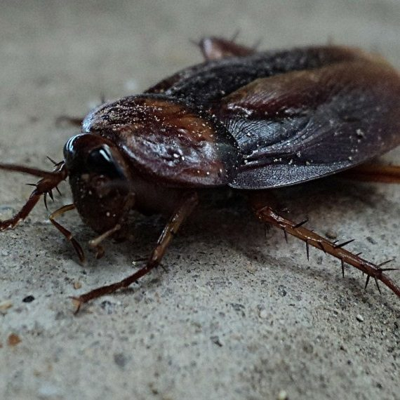 Cockroaches, Pest Control in North Watford, WD24. Call Now! 020 8166 9746