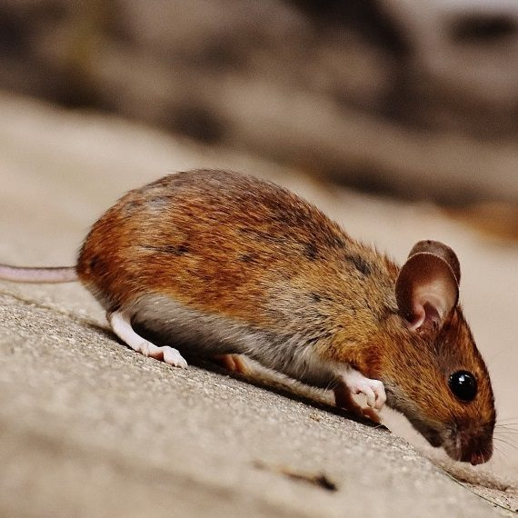 Mice, Pest Control in North Watford, WD24. Call Now! 020 8166 9746