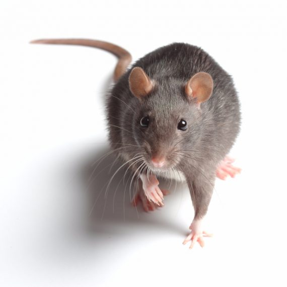 Rats, Pest Control in North Watford, WD24. Call Now! 020 8166 9746