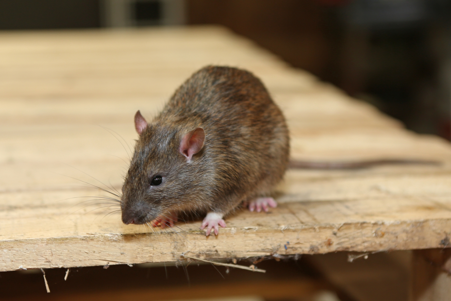 Rat Control, Pest Control in North Watford, WD24. Call Now 020 8166 9746