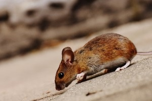 Mouse extermination, Pest Control in North Watford, WD24. Call Now 020 8166 9746