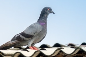 Pigeon Pest, Pest Control in North Watford, WD24. Call Now 020 8166 9746